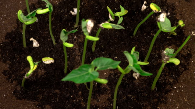 Green Beans Growing on Black Background video