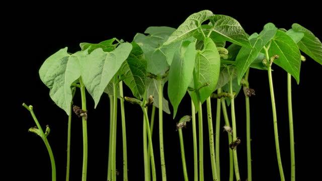 gröna bönor växer på svart bakgrund - böngrodd bildbanksvideor och videomaterial från bakom kulisserna