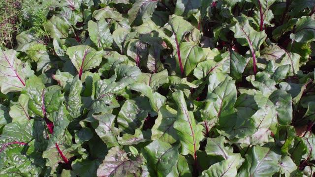 grüne rübenblätter, hintergrund, anbau von bio-gemüse. - chenopodiacea stock-videos und b-roll-filmmaterial