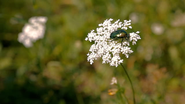 green beetle on flower - жук стоковые видео и кадры b-roll