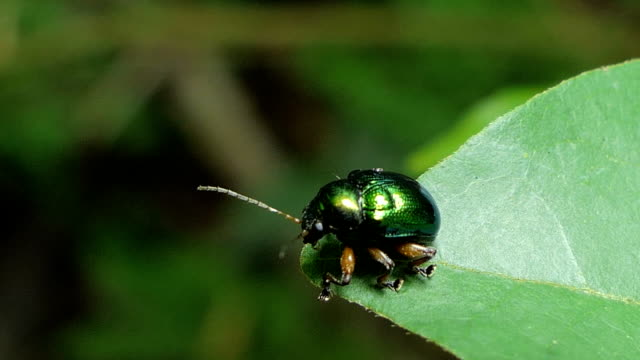 green beetle on the green leaf. - жук стоковые видео и кадры b-roll