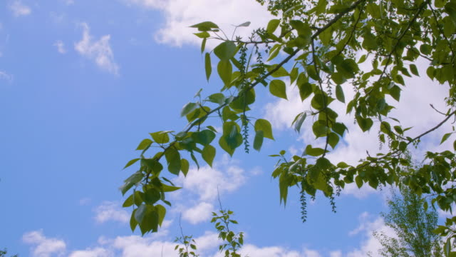 Green branches and foliage of poplar tree in summer park on blue sky landscape