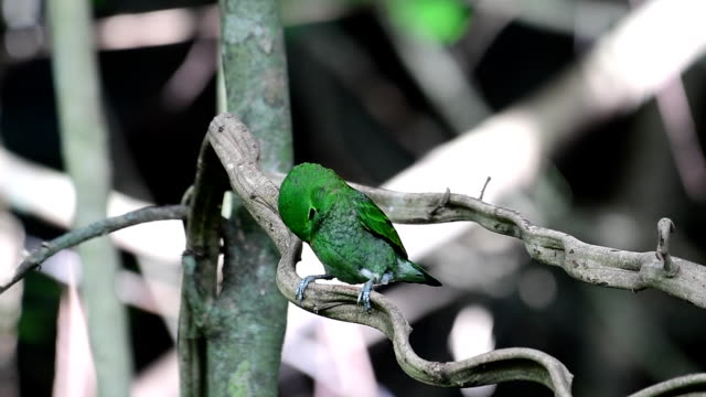Green Broadbill Bird Beautiful green bird, Green Broadbill (Calyptomena viridis) perching on a branch at Krung Ching Waterfall, Khao Luang National Park, Thailand. nakhon si thammarat stock videos & royalty-free footage