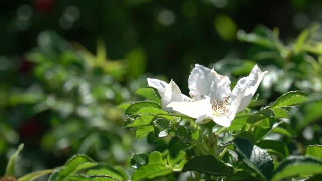 公園や庭の背景に対してワイルドローズの白い芽と緑の茂み。hd 映像ビデオ - イヌバラ点の映像素材/bロール
