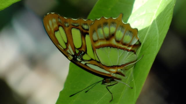 Green Butterfly sitting on a  leaf video