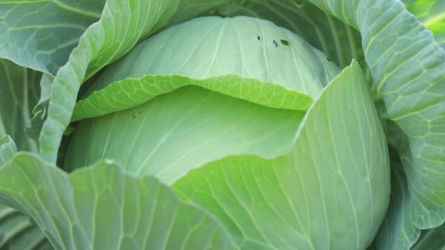 Green cabbages in growth at vegetable garden Green cabbages in growth at vegetable garden cabbage stock videos & royalty-free footage