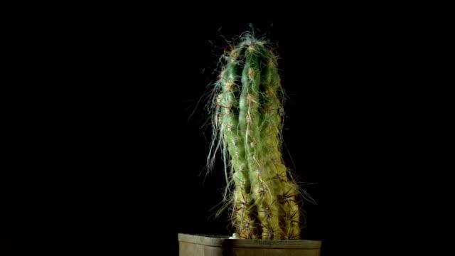Green cactus with sharp needles rotates on dark background.