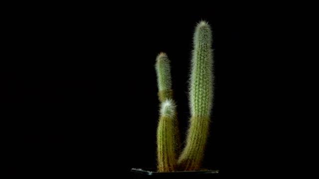 Green cactus with sharp thin needles rotates on dark background.