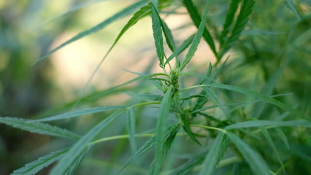 Green cannabis tree swinging at the blurred background, hemp leaves is swaying