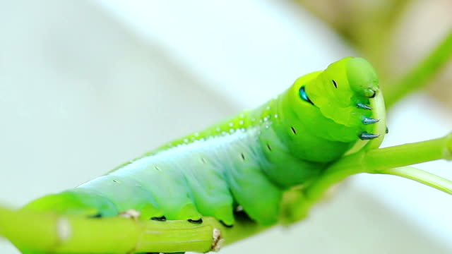 Green Caterpillar Eating with Zoom Out Technique video