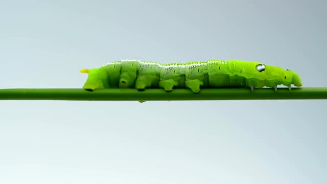 stockvideo's en b-roll-footage met green caterpillar on white background - rups