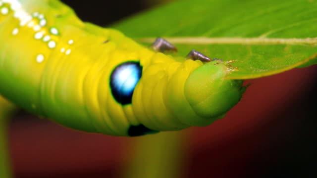 stockvideo's en b-roll-footage met green caterpillar - rups