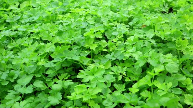 vídeos y material grabado en eventos de stock de verde apio crecer en jardín de vegetales - pak choy