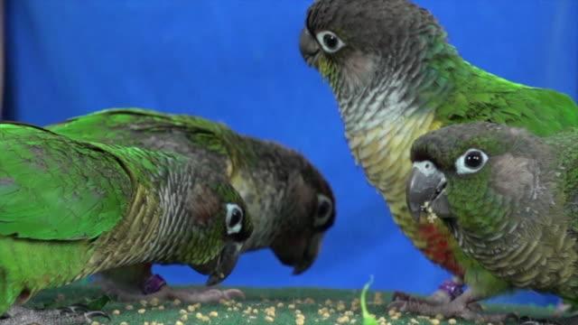 Green Cheek Conures eating food video
