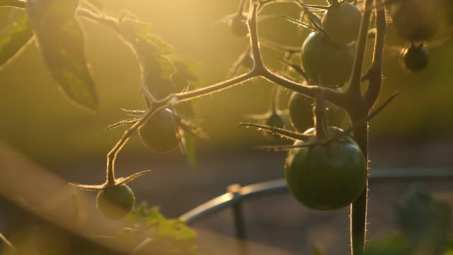 Green cherry tomatoes in a garden video