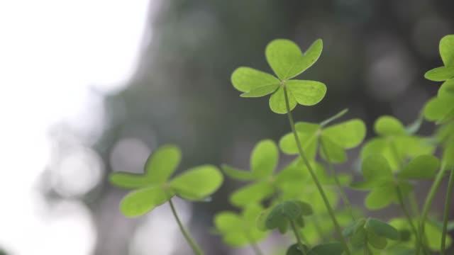 vidéos et rushes de fond vert chanceux de champ de trèfle vert - bonne chance