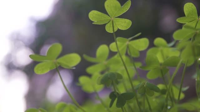 green clover field green lucky background - four seasons filmów i materiałów b-roll
