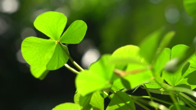 Green clover leaf for background and St. Patrick's Day background Green clover leaf for background and St. Patrick's Day background shamrock stock videos & royalty-free footage
