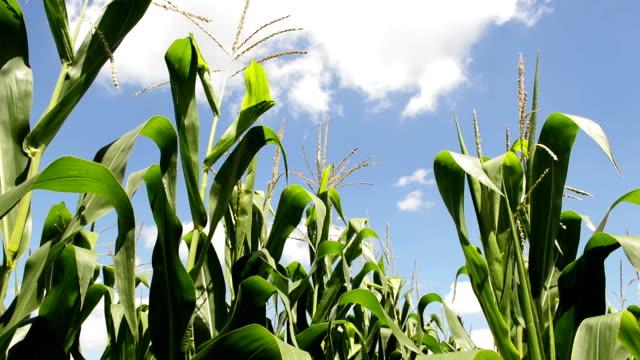 green corn field against the blue sky and clouds - биомасса возобновляемая энергия стоковые видео и кадры b-roll