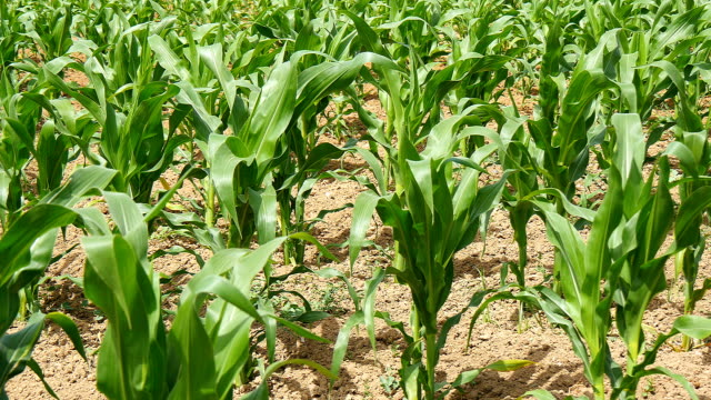 Green corn (maize) growing in the field during spring Green corn (maize) growing in the field during spring grooved stock videos & royalty-free footage