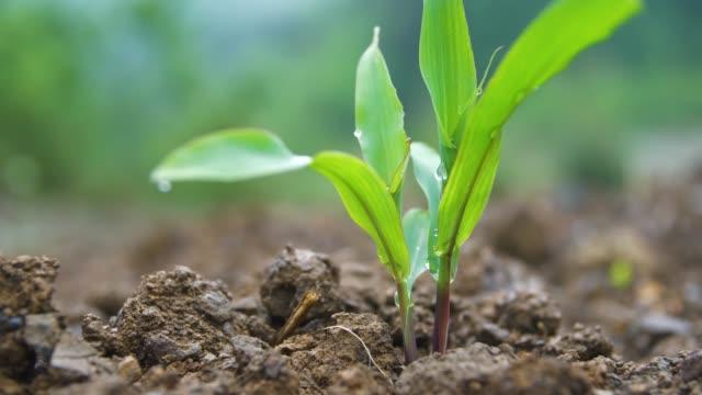 vidéos et rushes de le maïs vert poussant dans le domaine - maïs culture