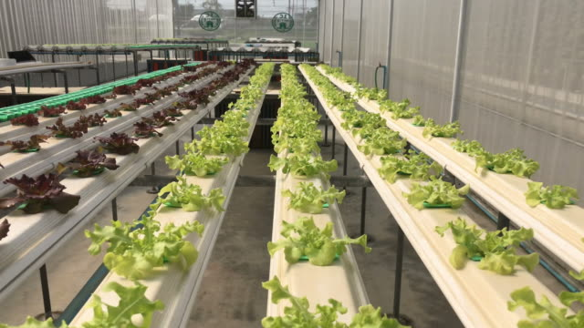 Green Cultivation hydroponic vegetable in farm plant hydroponic plantation Green Cultivation hydroponic vegetable in farm plant hydroponic plantation hydroponics stock videos & royalty-free footage