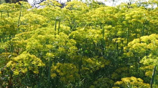 stockvideo's en b-roll-footage met groene dille venkel bloem - venkel