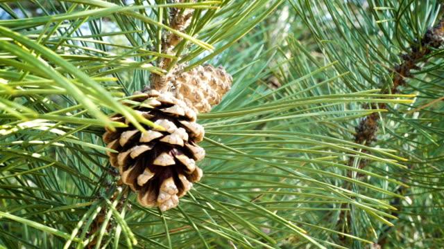 pino sempreverde verde con cono di abete da vicino su un vento - pinacee video stock e b–roll
