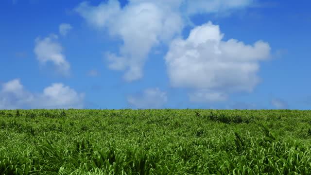 campo verde e blu cielo con le nuvole - canna da zucchero video stock e b–roll