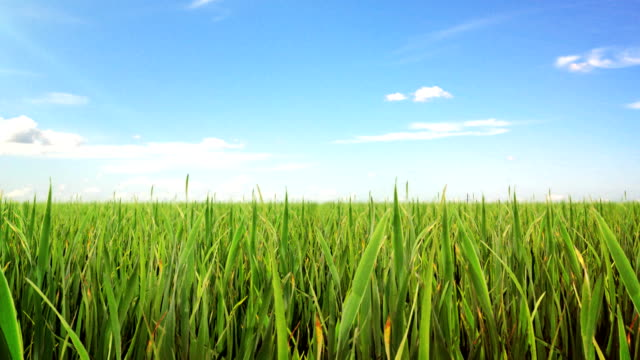 Green field and blue sky with white cloud. Loop video
