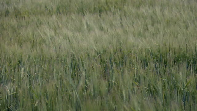 Green field in  summer time on the wind video