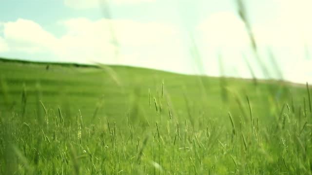 Green field in wind video