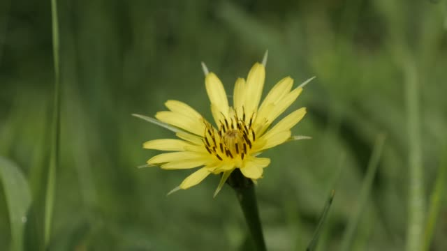 vídeos de stock, filmes e b-roll de campo verde tragopogon pratensis flor 4k - flor temperada