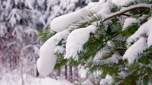 green firs in the snow in winter