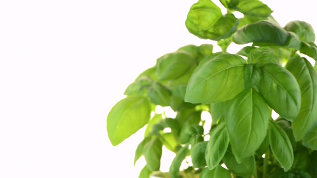 Green fresh basil video