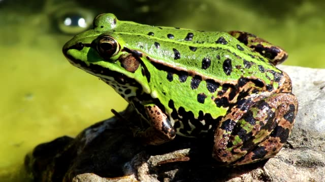 Green frog in pond macro video