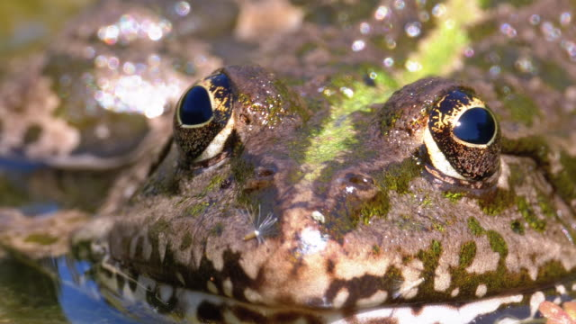 Green Frog in the River. Close-Up. Macro Portrait Face of Toad in Water with Water Plants