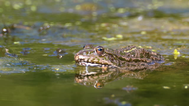 Green Frog in the River. Close-Up. Portrait Face of Toad in Water with Water Plants