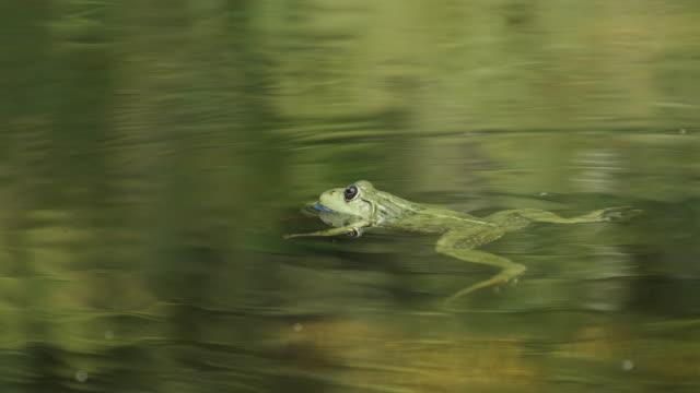 la rana verde si siede nella palude - anfibio video stock e b–roll
