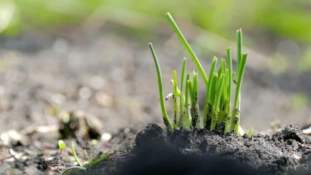 green garlic in a large soil organic gardening plan - video