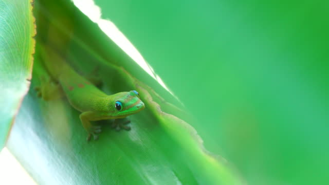 Green Gecko - Phelsuma Green Gecko on banana tree. Day Gecko Phelsuma. Reunion Island. gecko stock videos & royalty-free footage