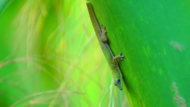 Green Gecko - Phelsuma