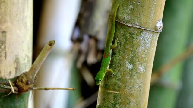 Green Gecko Green Gecko o  Bamboo. gecko stock videos & royalty-free footage