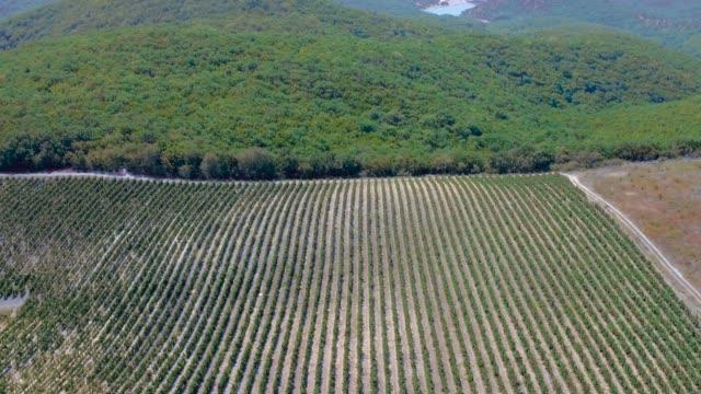 green grape fields from drone video