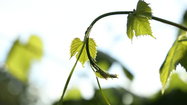 Green grape leaves in the rain on the sunset light background video