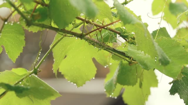 Green grape leaves on the branch with water drops in the garden. Plant in the rain, close up, dynamic scene, toned video. video