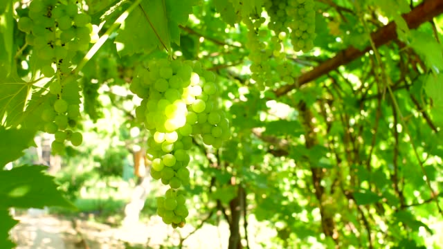 green grapes close-up crop. on a natural background vineyard