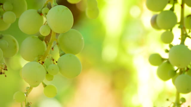 Green grapes hanging, close up video