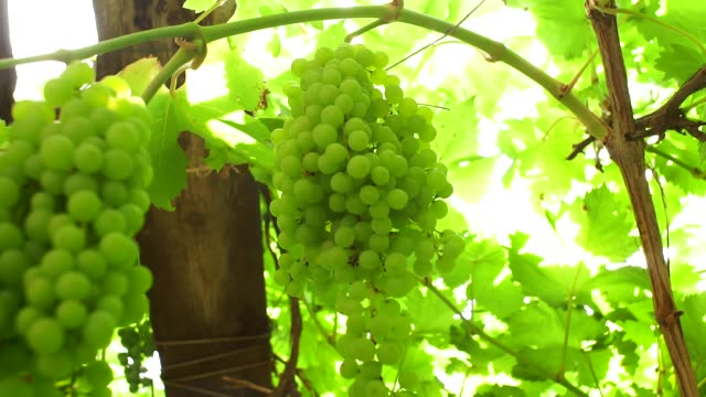 green grapes on a branch harvest of organic fruit - uva riesling bianco video stock e b–roll