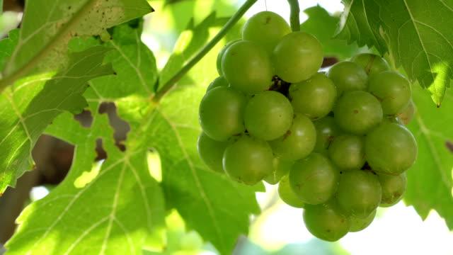 포도 나무에 녹색 포도, 랙 초점 - 초점 이동 스톡 비디오 및 b-롤 화면